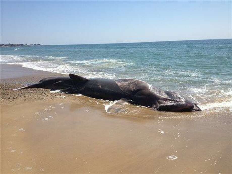 This photo provided by the Mystic Aquarium shows a 28-foot-long dead basking shark which was found washed ashore on a Rhode Island beach, Sunday, April 28, 2013. The Day of New London (Conn.) reports that a homeowner in the Misquamicut beach area of Westerly reported the shark to police on Sunday morning. (AP Photo/Mystic Aquarium) Photo: AP / Mystic Aquarium