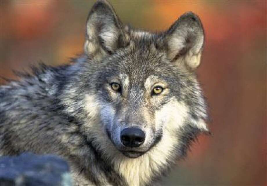 Michigan's first wolf hunt since the animal was placed on the endangered species list nearly 40 years ago began on Nov. 15. The state has issued licenses to 1,200 people. Photo: AP / U.S. Fish and Wildlife Service