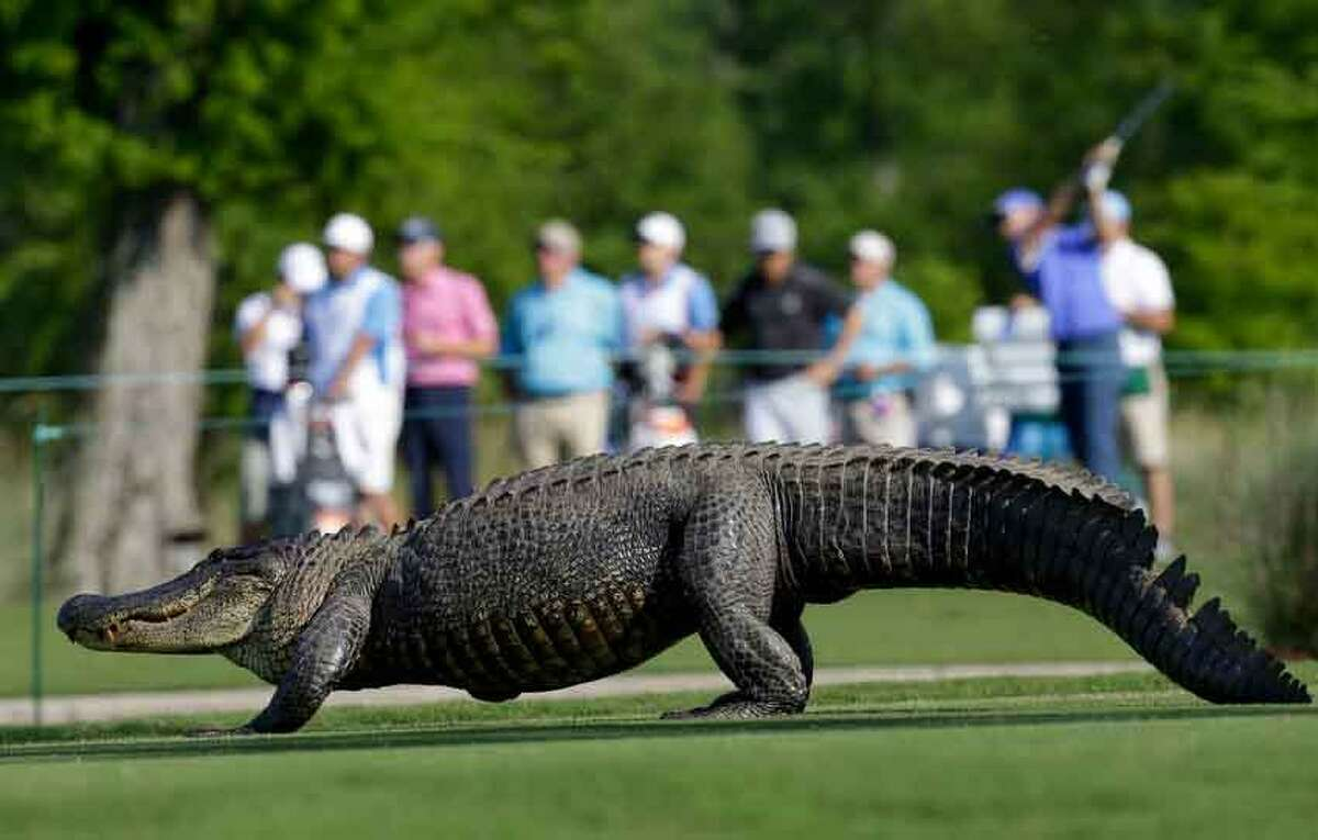 An alligator crosses the 14th fairway during the first round of the PGA Tour Zurich Classic golf tournament at TPC Louisiana in Avondale, La., on Thursday, April 25, 2013. (AP Photo/Gerald Herbert)
