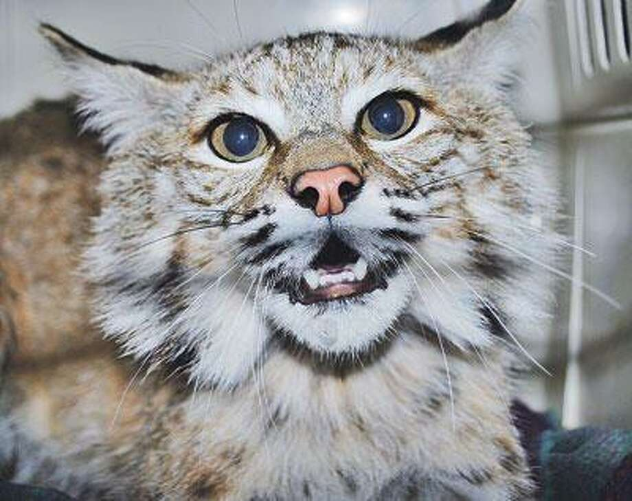 Chips, the bobcat who was recently let out into the wild in Humboldt County, California.