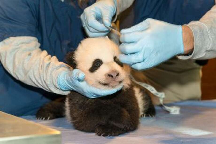 The baby panda is given a checkup by two employees of the Smithsonian's National Zoo in Washington, D.C.