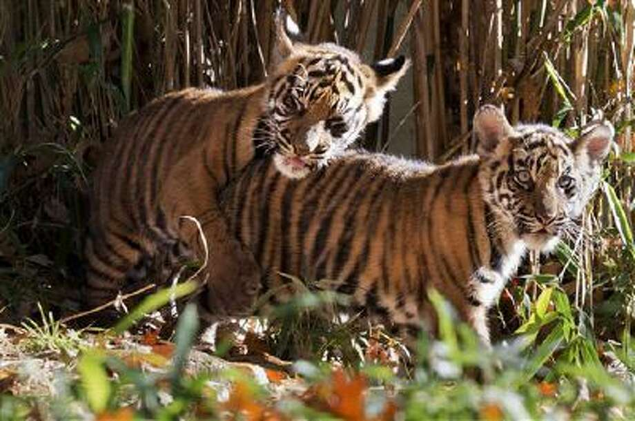 Two Sumatran tiger cubs, Bandar and Sukacita, play as they make their public debut at the National Zoo in Washington on Monday. Photo: AP / AP