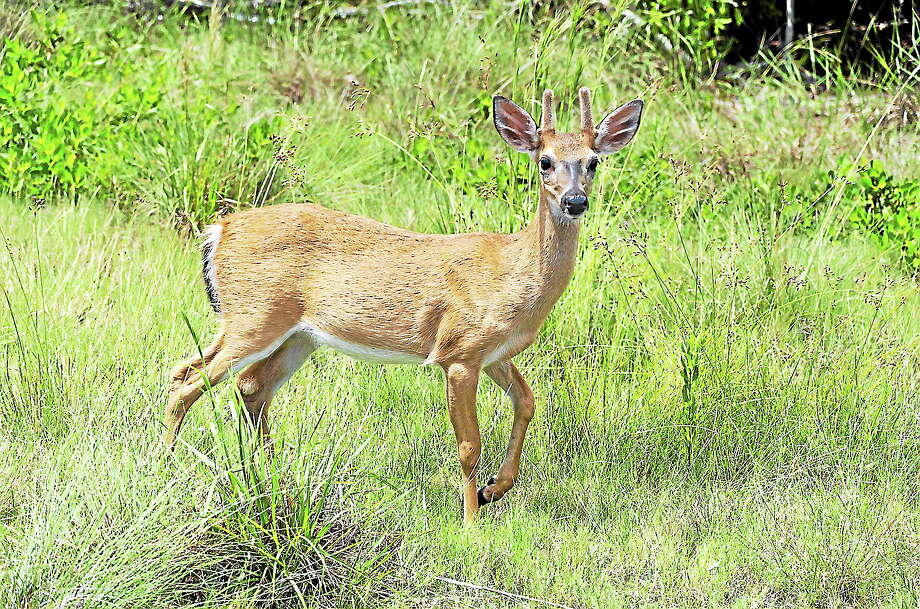 A white-tailed deer. Photo: Journal Register Co.