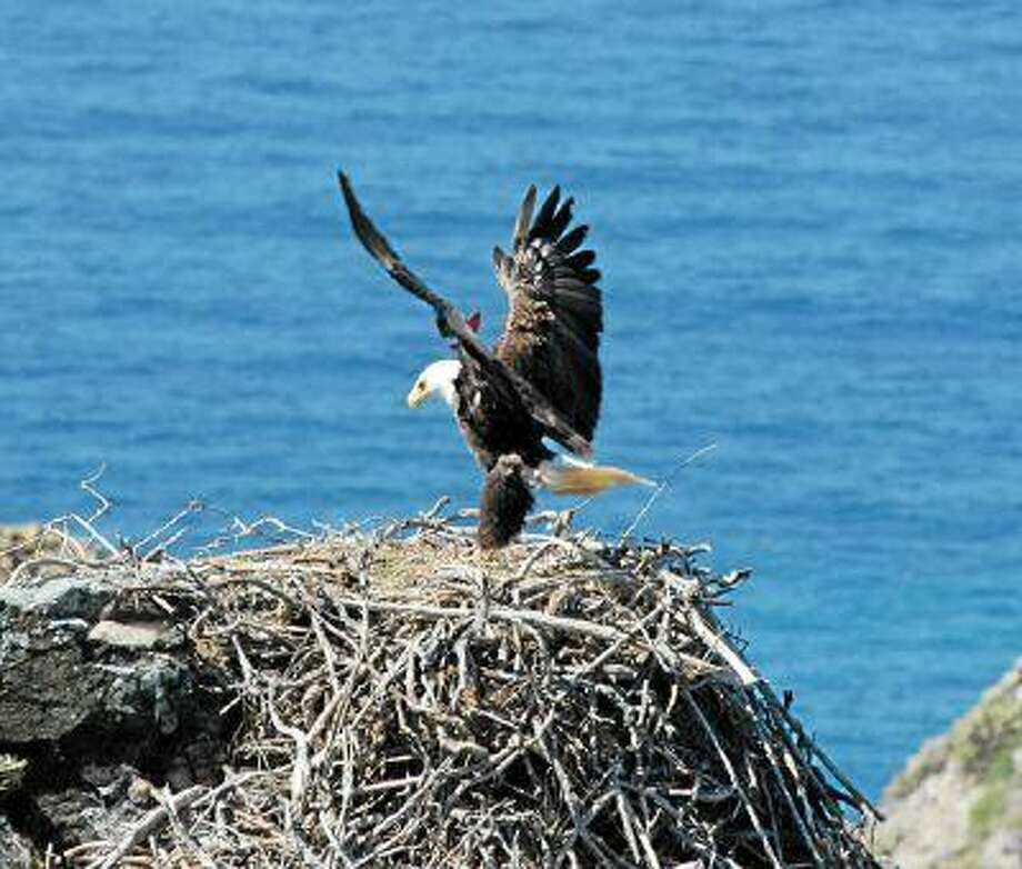 A new pastime was born this week as thousands of people logged in to watch baby eaglets being born in a nest at Catalina Island. (Photo courtesy Institute for Wildlife Studies)
