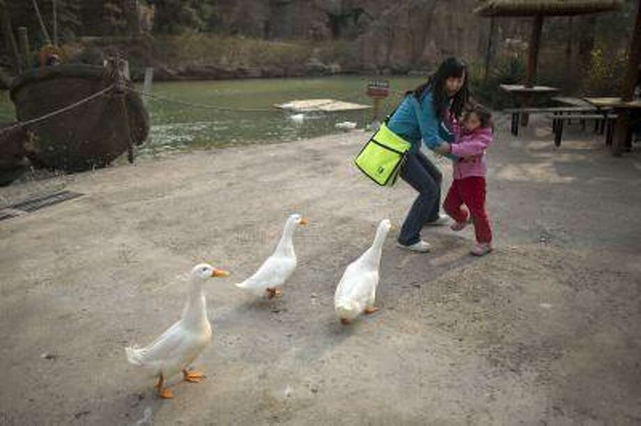 A woman and her daughter are frightened while ducks approach closely for food at an amusement park in Beijing, China, April 3. Photo: ASSOCIATED PRESS / AP2013