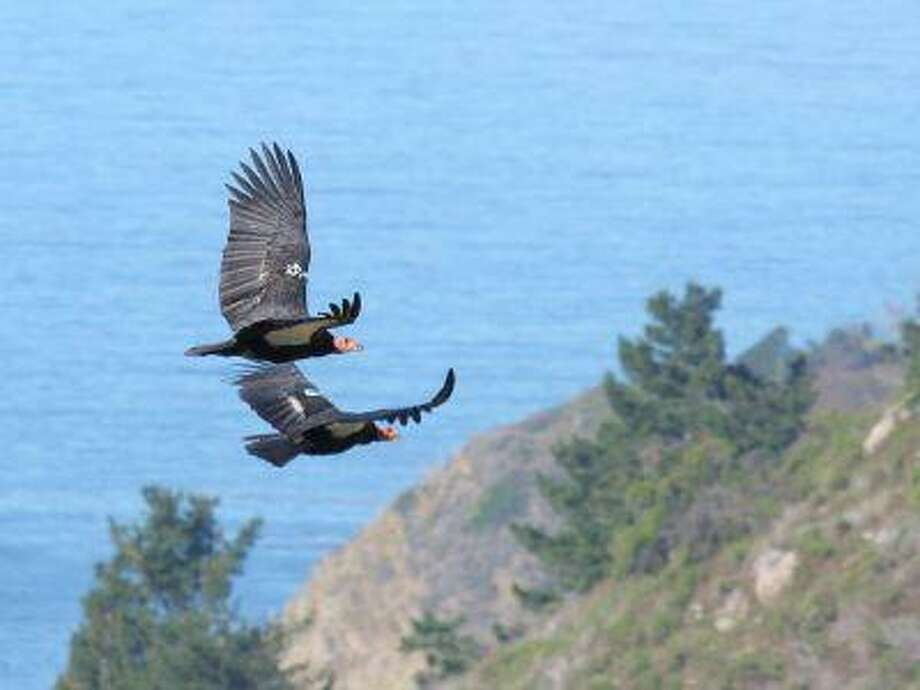 Two California condors fly above McWay Rocks at Big Sur on the California coast.
