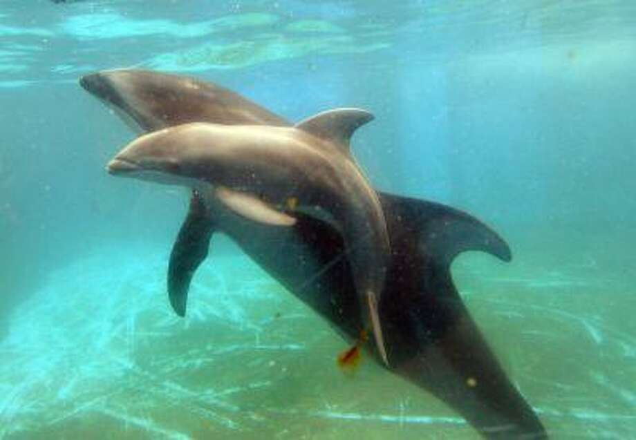 A baby Pacific white-sided dolphin, born on June 12, swims close to his mother Lulu at the Hakkeijima Sea Paradise aquarium in Yokohama, suburban Tokyo on June 15, 2013. Photo: AFP/Getty Images / 2013 AFP
