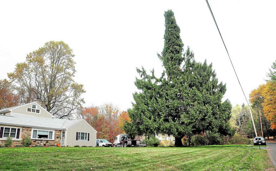 A crew ties up the branches Oct. 30 of an 80-foot Norway spruce on Kazo Drive in Shelton in preparation for its trip to Rockefeller Center in New York City. Photo: Arnold Gold — New Haven Register