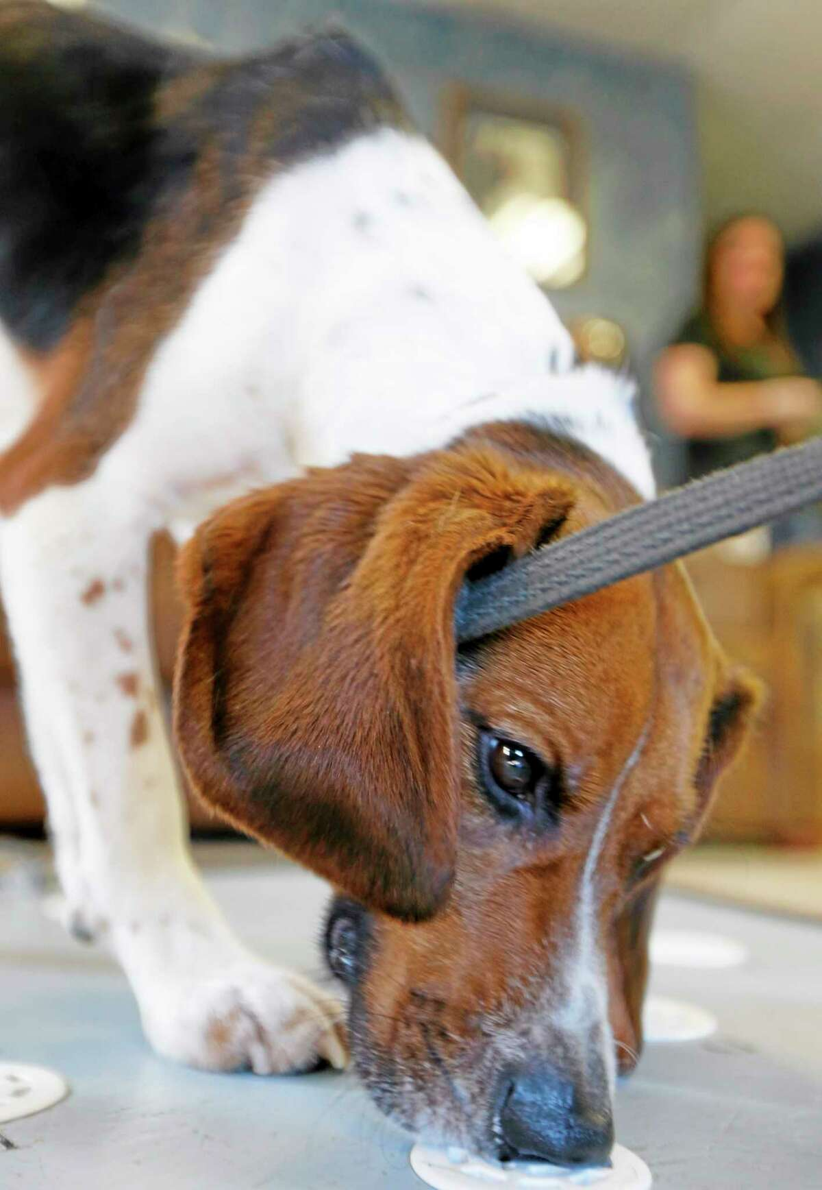 Elvis, a 2-year-old beagle, sniffs polar bear protein samples at Iron Heart Performance Dog Center in Shawnee, Kansas. Elvis is demonstrating 97% accuracy in positive identification of samples from pregnant females. AP Photo/Orlin Wagner