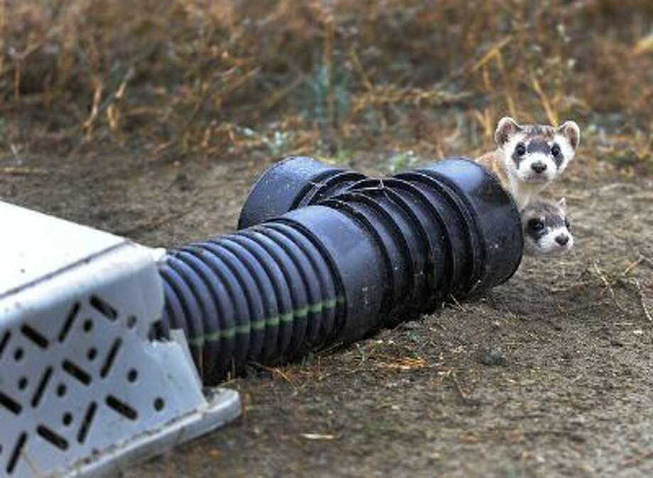 The U.S government through the U.S. Fish and Wildlife Service is breeding the black-footed ferret in captivity in northern Colorado. Restoring the ferrets, an endangered species, to the United State prairies is considered a key step in to reviving dying ecosystems. Photo: DP / Copyright - 2013 The Denver Post, MediaNews Group.