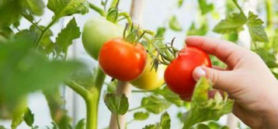 Girl (2-3) picking ripe tomato, close-up
