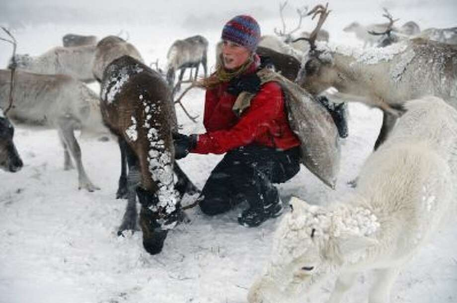 Eve Grayson, a Reindeer herder of the Cairngorm Reindeer Herd, feeds the deer on December 23, 2013 in Aviemore, Scotland. Photo: Getty Images / 2013 Getty Images