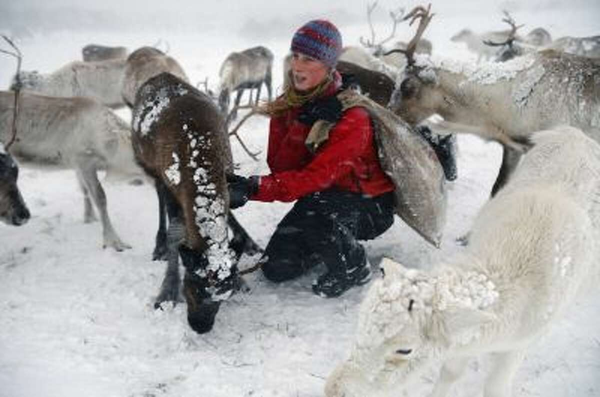 Eve Grayson, a Reindeer herder of the Cairngorm Reindeer Herd, feeds the deer on December 23, 2013 in Aviemore, Scotland.