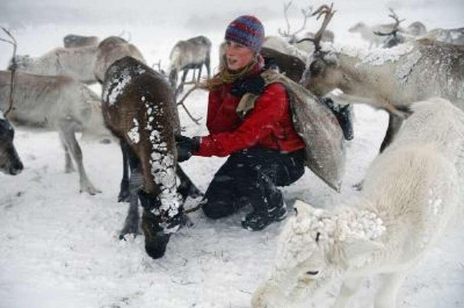 Eve Grayson, a Reindeer herder of the Cairngorm Reindeer Herd, feeds the deer on December 23, 2013 in Aviemore, Scotland. Photo: Getty Images / 2013 Getty Images