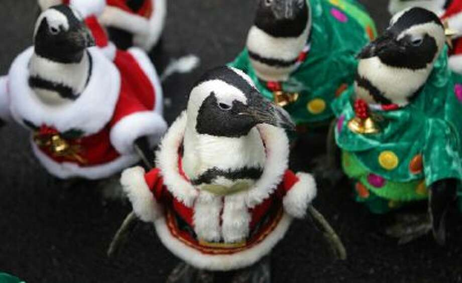 Penguins dressed in Christmas costumes are paraded at Everland, South Korea's largest amusement park on Dec. 18.