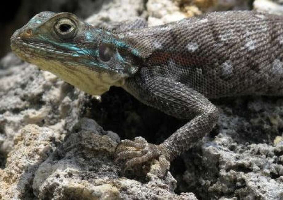 A Savanah Monitor Lizard stands on a rock in the Kenyan coastal town of Mombasa, Monday, Oct. 19, 2009.