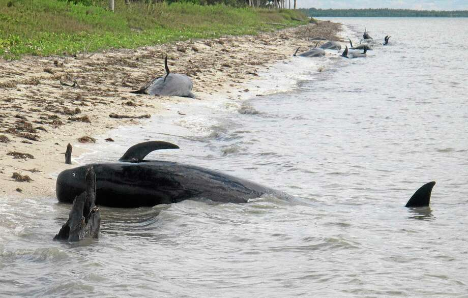 In this Tuesday, Dec. 3, 2013, photo provided by the National Park Service, pilot whales are stranded on a beach in a remote area of the western portion of Everglades National Park, Fla. Federal officials said some whales have died. The marine mammals are known to normally inhabit deep water. (AP Photo/National Park Service) Photo: AP / National Park Service