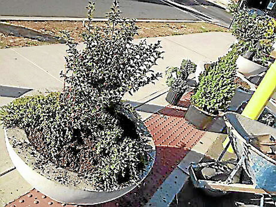 New foliage popped up in city planters Thursday, sponsored by the Downtown Business District. Photo: Alex Gecan - The Middletown Press