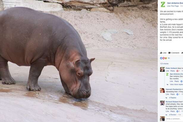"""San Antonio Zoo : """"We are excited to make this special announcement… We're getting a new addition to our San Antonio Zoo family,  a 2-year-old male hippo! Born in April 2015 at ABQ BioPark Zoo, he is actually the grandson of Uma, San Antonio Zoo's resident hippo. He currently weighs 1,170 pounds and is expected to arrive sometime in the next few weeks to be a companion for Uma. Stay tuned for more updates as we prepare for his arrival."""""""
