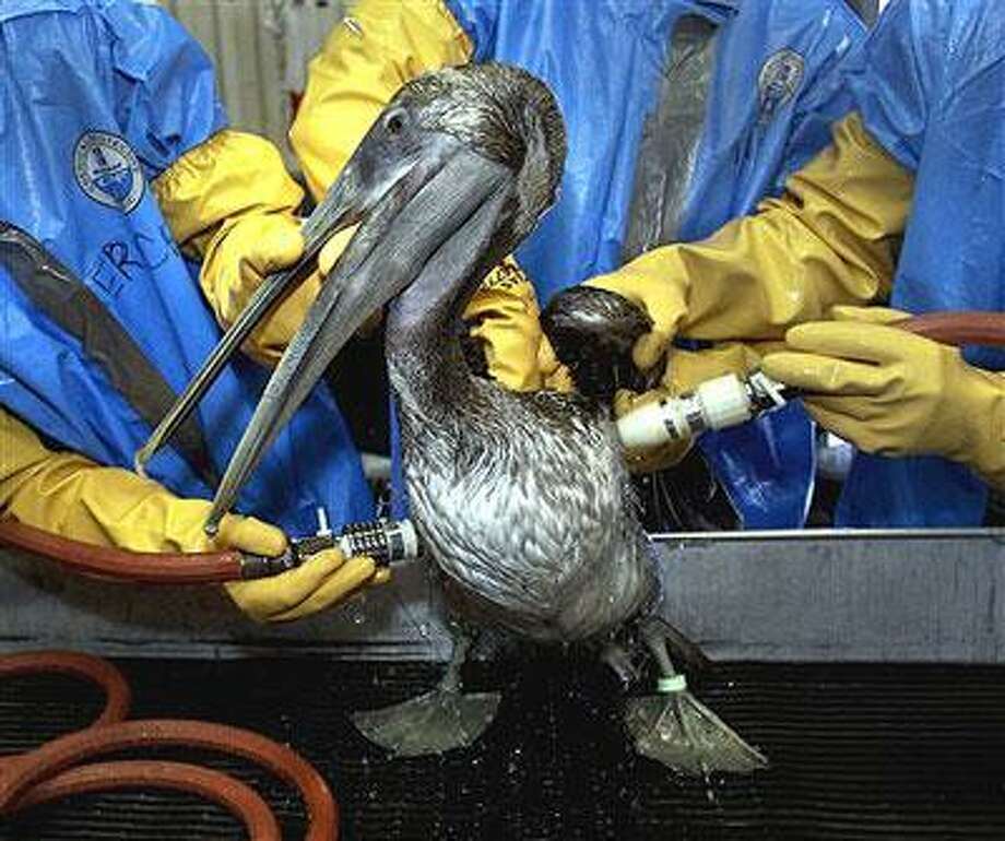 In this May 15, 2010 file photo, A Brown Pelican is cleaned at the Fort Jackson Wildlife Rehabilitation Center at Buras, La. The bird was rescued after being exposed in an oil spill in the Gulf of Mexico caused by the explosion of BP's Deepwater Horizon oil platform more than three weeks ago. At nearly every step since the Deepwater Horizon exploded more than a month ago, causing the worst oil spill in U.S. history, rig operator BP PLC has downplayed the severity of the catastrophe in the Gulf of Mexico. (AP Photo/Charlie Riedel, File)