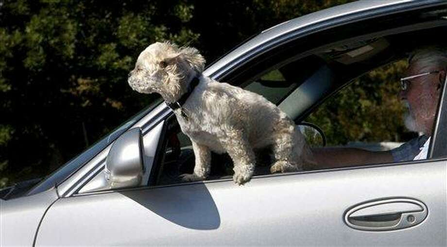 This Sept. 12, 2007 file photo shows a small dog leaning out a window while riding in a car in Great Falls, Mont. Experts advise pets be restrained with a harness or carrier when riding in moving vehicles. Photo: AP / AP2007