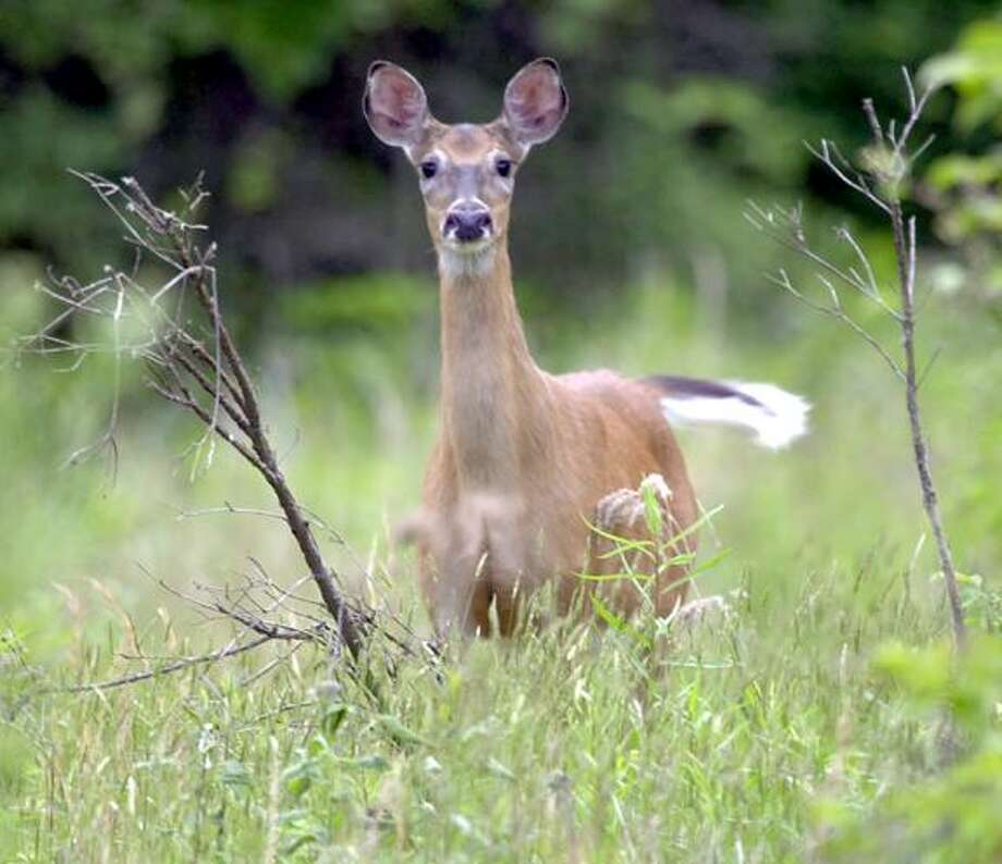 A white tail deer flicks its tail as it stands alert while grazing in a field in Zelienople, Pa., Tuesday, May 27, 2003. (AP Photo/Keith Srakocic) Photo: ASSOCIATED PRESS / AP2003