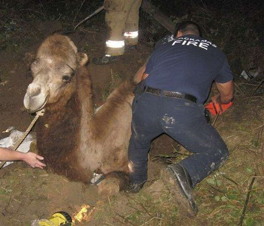 A Tuesday, Sept. 14, 2010 photo provided by the Clackamas Fire District #1 shows Oregon firefighters working to rescue a camel, Moses, who got stuck in a sinkhole 6 to 8 feet deep after he fell in.  Firefighters were called by the Oregon City owners of the camel, who have several camels and run a children's ministry. Firefighhters shoveled mud for several hours to free him. A veterinarian said the animal looked unhurt.  (AP Photo/Clackamas Fire District #1) Photo: AP / Clackamas Fire District #1