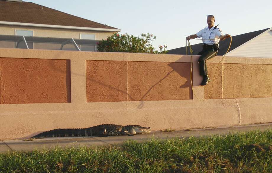 In this photo provided by the Pinellas County Sheriff's Office, shows deputy sheriff Jeffrey Crandall  as he  attempts to rope a 7 foot alligator found near an elementary school in Oldsmar, Fla. Monday Sept. 13, 2010. The alligator was found early Monday and was roped by three officers after the alligator started walking towards the children. He was later removed by professional animal trappers. (AP Photo/Pinellas Sheriff's Office, HO) Photo: ASSOCIATED PRESS / Pinellas County Sheriff's Office