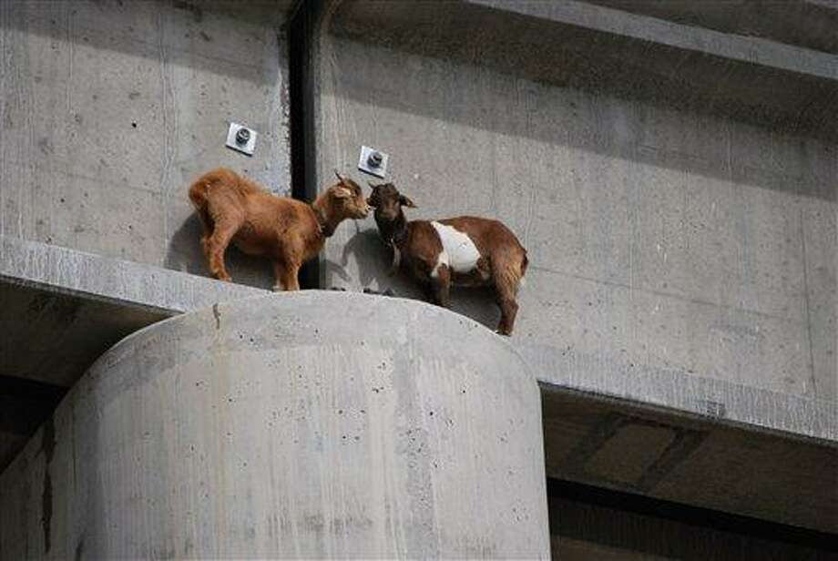 In this Sept. 1, 2010 photo, two goats are stranded on a railroad bridge south of Roundup, Mont. The goats were rescued after nearly two days and are in good condition. (AP Photo/Courtesy of Sandy Church of the Rimrock Humane Society) NO SALES Photo: AP / the Rimrock Humane Society