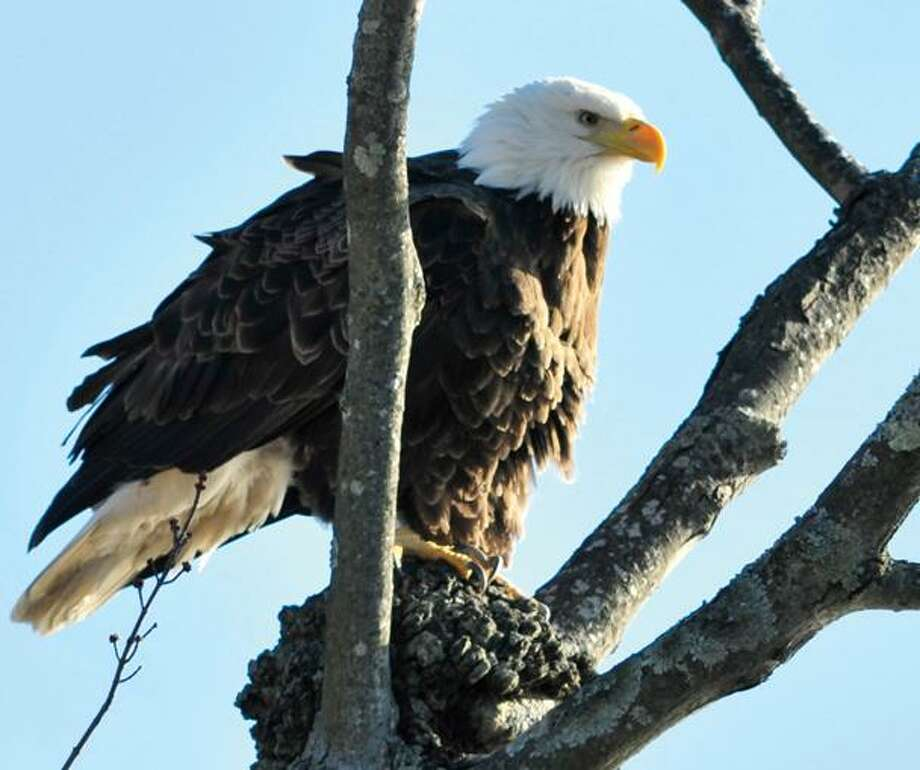 A Bald Eagle is seen perched on a tree during an Eagle Watch Boat Tour this February. (Dirk Samuelson