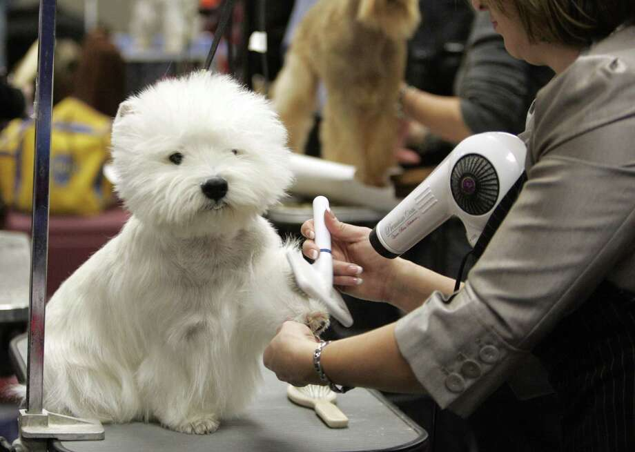 Danny a west highland white terrier gets groomed backstage during the second day of the 135th Westminster Dog Show, Tuesday, at Madison Square Garden in New York. (AP Photo/Jeff Christensen) Photo: ASSOCIATED PRESS / AP2011