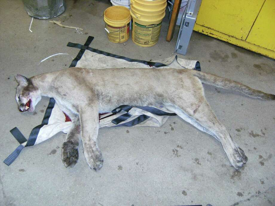 The DEP provided this picture of the mountain lion killed on Route 15.
