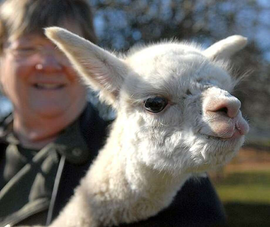 Six Paca Farm owner Linda Adelman holds an alpaca born on Oct. 31 at the farm in Bozrah. (AP) Photo: AP / The Norwich Bulletin