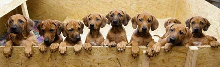 Nine Rhodesian Ridgeback puppies from a litter of 17,  look out of their box in Nauen, 50 kilometers  outside  Berlin on Monday, Dec. 20, 2010. On Sept 28, and 29, 4 years old Ridgeback Etana  had 17 puppies. All of them survived.  (AP Photo/Markus Schreiber) Photo: ASSOCIATED PRESS / AP2010