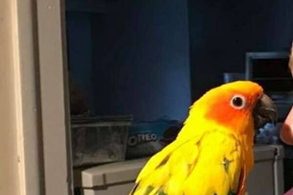 Trump, a pet parrot, is missing from his Norwalk home.