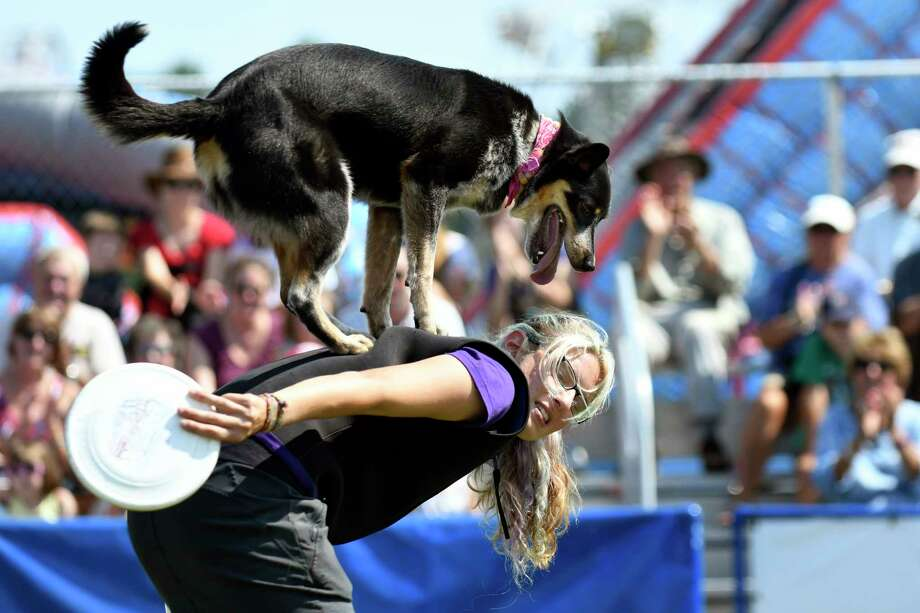 Rox rides on the back of trainer Samantha as part of their Mutts Gone Nuts performance during the Washington County Fair on Wednesday, Aug. 24, 2016, at the fairgrounds in Easton, N.Y.The fair runs through Sunday. (Cindy Schultz / Times Union) Photo: Cindy Schultz / Albany Times Union