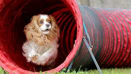 Today's stay-at-home dog also needs mental games to stay healthy, too. Using a nylon pipe tunnel, coax your dog into one side and then out the other with a high-value treat, like a piece of hot dog. Small- to medium-size dogs love this confidence-building activity.