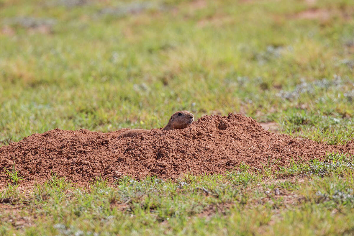 Black-tailed prairie dogs benefit the soil by aerating it and nurturing it with natural fertilizer. The burrows provide living quarters for burrowing owls and other wildlife. Photo Credit: Kathy Adams Clark. Restricted use.
