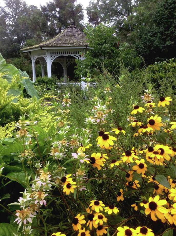 The browneyed Susan, known botanically as Rudbeckia triloba, is native to 34 states. Here it is growing with another native the spotted monarda or beebalm at the Coastal Georgia Botanical Gardens in Savannah, Ga. (Norman Winter/TNS) Photo: Norman Winter, HO / TNS