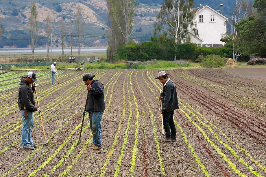 Workers hoe baby lettuce at Star Route Farms in Bolinas, the oldest continuously operating organic farm in California. Photo: Liz Hafalia, The Chronicle