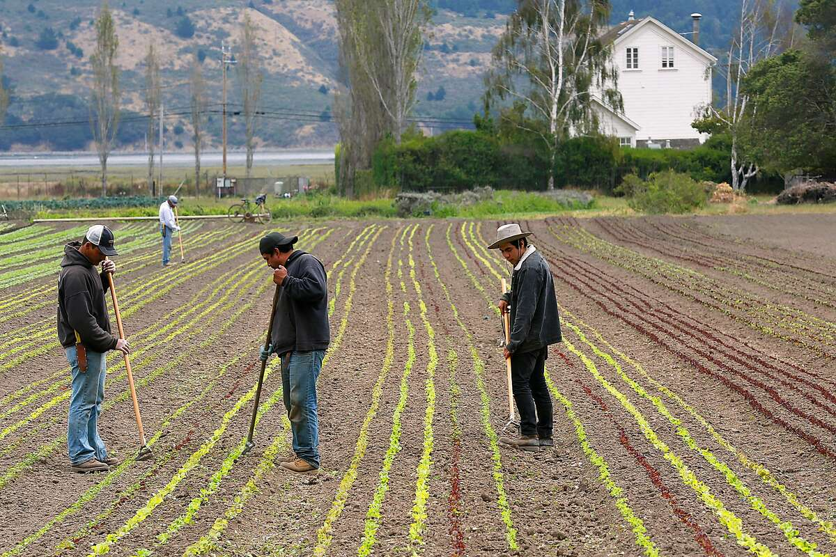 Hoeing baby lettuce at Star Route Farms on Tuesday, August 8, 2017, in Bolinas, Calif. The University of San Francisco has purchased Star Route Farms, the oldest continued operating organic farm, for $10.4 million.