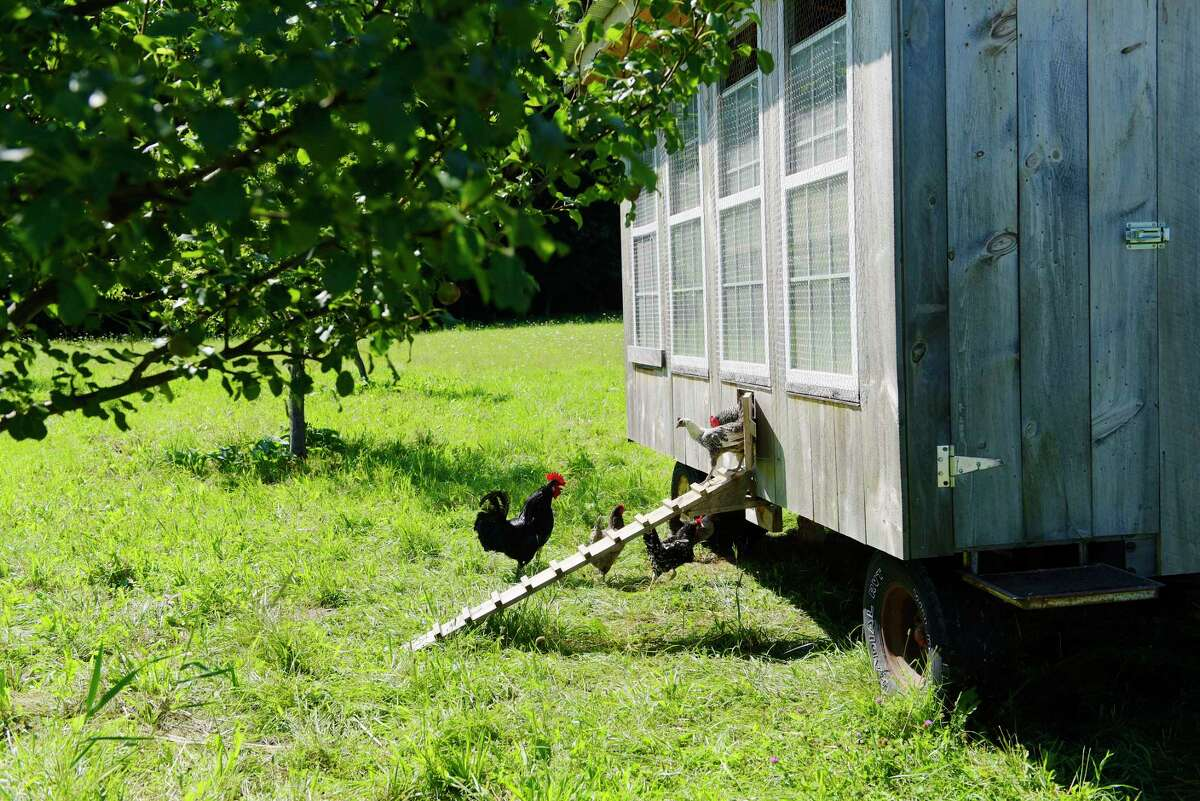 Chickens make their way out of their coop that sits in the apple orchard at the Berle Farm on Wednesday, July 26, 2017, in Hoosick, N.Y. (Paul Buckowski / Times Union)