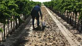 Migrant worker Santos Jimenez, 79, ties up loose branches on grape vines at Newsom Vineyards near Plains. The vineyard is one of several in the High Plains that has been damaged by herbicide used on cotton fields.