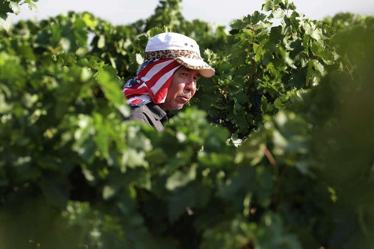 Francisco Martinez, 51, ties up loose vines at Newsom Vineyards.