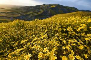 "Hillside daisies (coreopsis) cover the hills in the Carrizo Plain National Monument near Taft, California during a wildflower ""super bloom,"" April 5, 2017. After years of drought an explosion of wildflowers in southern and central California is drawing record crowds to see the rare abundance of color called a super bloom. / AFP PHOTO / Robyn BeckROBYN BECK/AFP/Getty Images"