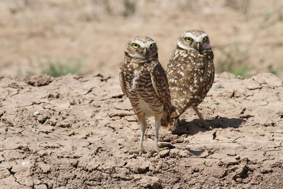 Burrowing Owls can be found at both Mojave Trails and Castle Mountains Photo: David Lamfrom, National Parks Conservation Asso
