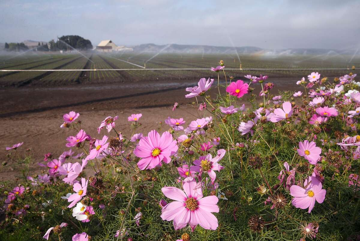 Wildflowers bloom in front of a field of crops at the intersection of Highway 68 and Hitchcock Road near Salinas, Calif. on Friday, Aug. 18, 2017. The crossroads was once known as Confederate Corners where farmers with Southern sympathies used to gather.