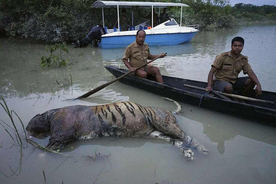 In this Friday, Aug. 18, 2017 photo, the carcass of a tiger lies in floodwaters at the Bagori range inside Kaziranga National Park in the northeastern Indian state of Assam. About 80 per cent of the 480-square-kilometer (185-square-mile) park has been flooded and more than 100 animal carcass recovered, according to news reports. Deadly landslides and flooding are common across South Asia during the summer monsoon season that stretches from June to September. (AP Photo/Uttam Saikia) Photo: Uttam Saikia, Associated Press