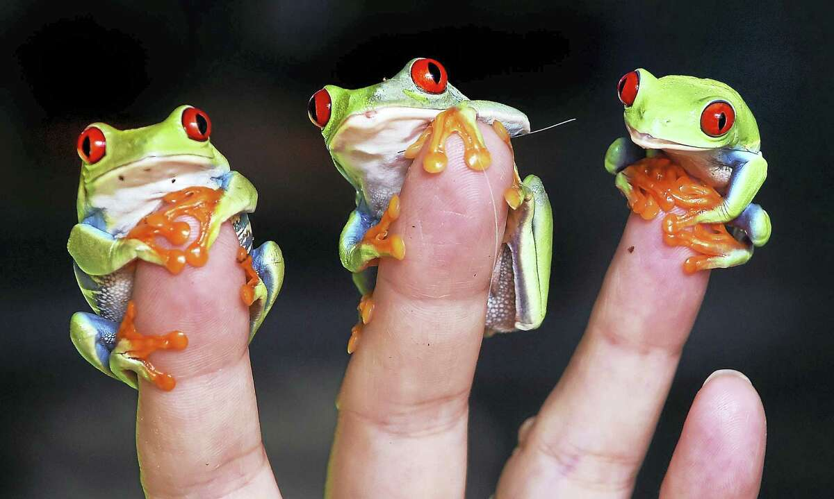 Quinnipiac University professor Lisa Cuchara holds three Red-Eyed Green Tree Frogs at her home in Hamden.
