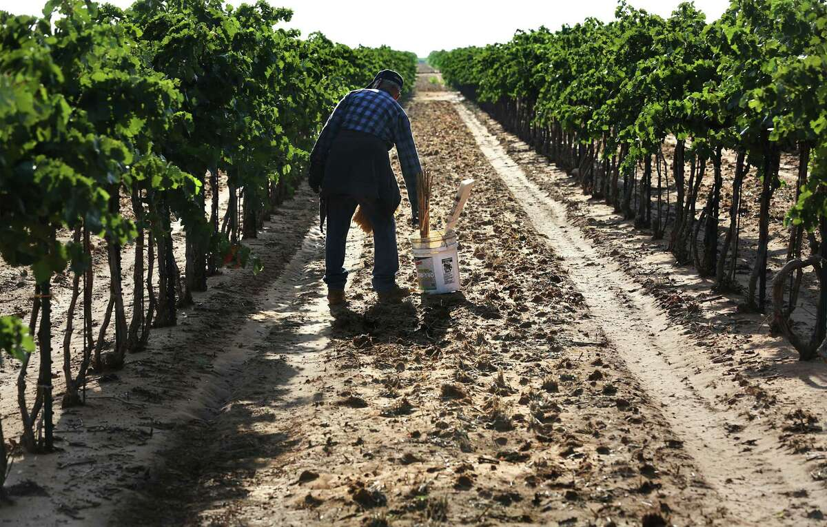 Santos Jimenez, a 79-year-old migrant worker, moves his work bucket as he ties up loose branches on grape vines before mechanical harvesting at the Newsom Vineyards near Plains.
